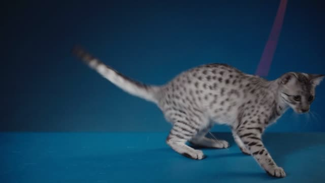 Playful Egyptian Mau kitten video