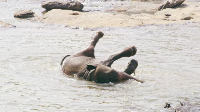 vidéos et rushes de ms playful éléphant éclabousser, se baigner dans l'eau, sri lanka - animal eau