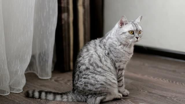 遊び心のあるグレイのスコットランドの猫のクローズアップ - ネコ科点の映像素材/bロール