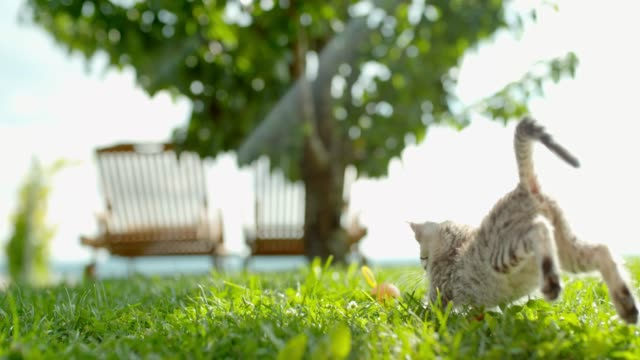 MS Playful kitten running and jumping in sunny green grass