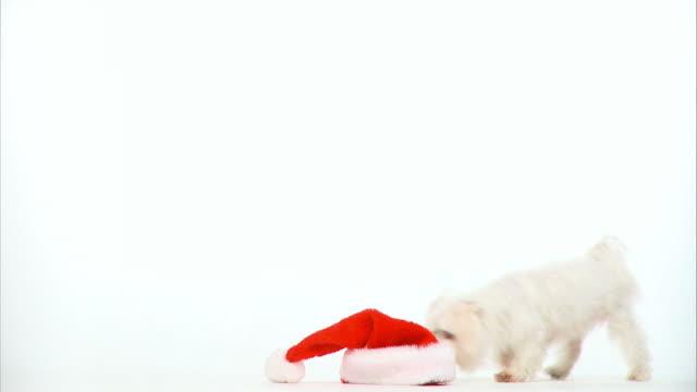 HD: Playful Maltese dog video