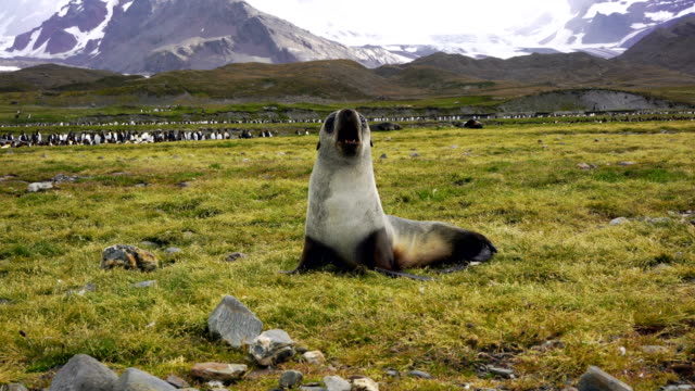 Playful seal pup Playful seal pup grytviken stock videos & royalty-free footage