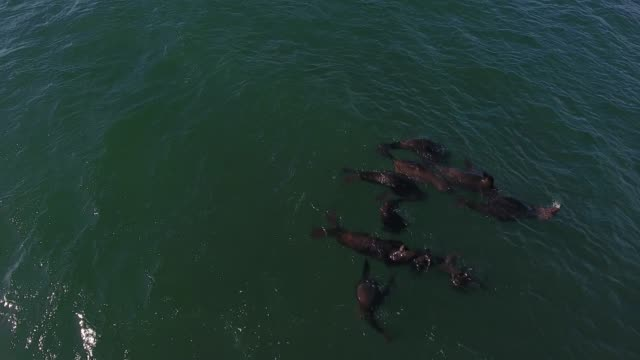 Playful seals in the water A small group of sea lions enjoying playing in the calm waters near Cape Town, South Africa sea life stock videos & royalty-free footage