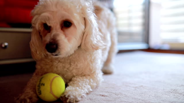playfull carino piccolo cane - bichon frisé video stock e b–roll