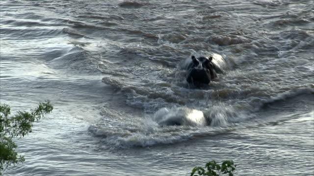 Playing Hippopotamus family Playing Hippopotamus family. South Africa, Kruger National Park. animal whisker stock videos & royalty-free footage