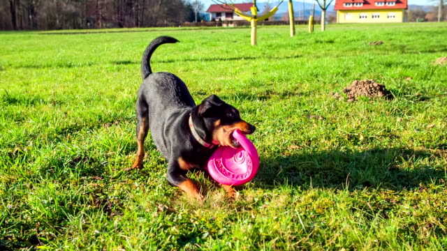 Playing with frisbee Black dog playing with frisbee on a filed in the middle of a countryside on a sunny day,footage in slow motion. setter dog stock videos & royalty-free footage