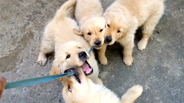 POV playing with Golden Retriever Puppies Playing with Golden Retriever Puppies puppy stock videos & royalty-free footage