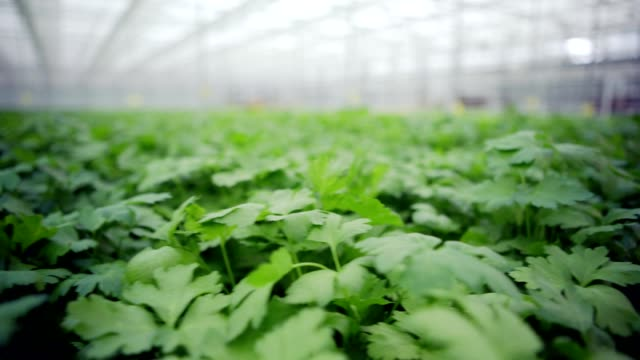 Plenty of green parsley plants growing in commercial greenhouse, tracking shot Plenty of green parsley plants growing in commercial greenhouse, tracking shot parsley stock videos & royalty-free footage