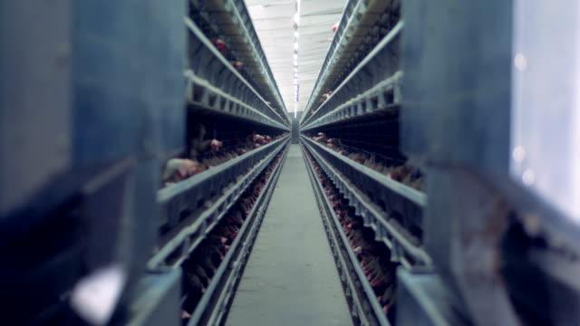 tavukları bol bir kümes kafeslerde tutulur - kafes sınırlı alan stok videoları ve detay görüntü çekimi