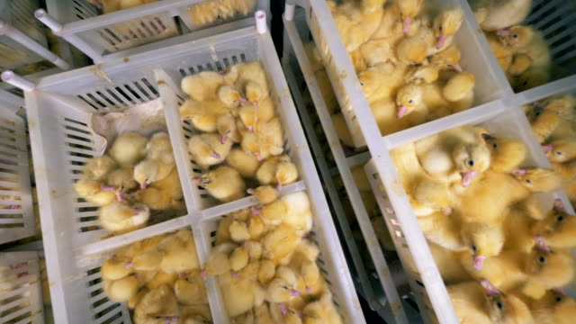 stockvideo's en b-roll-footage met veel plastic containers gevuld met pasgeboren kuikens in een bovenaanzicht - chicken bird in box