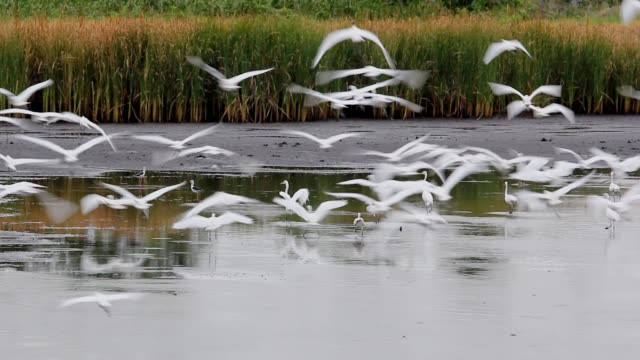Plenty of white birds fly out of the lake to the food source in nature.