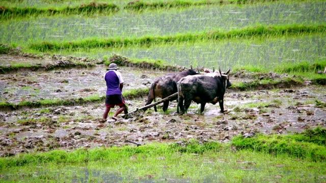 耕す、オクス、ポカラ、ネパール - ネパール点の映像素材/bロール