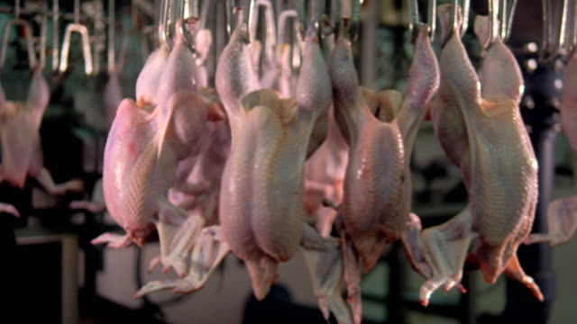 vídeos de stock e filmes b-roll de plucked and beheaded chickens moving on a poultry shackle line. - cru