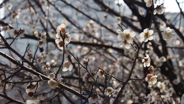 plum blossom scenery in korea - corea del sud video stock e b–roll
