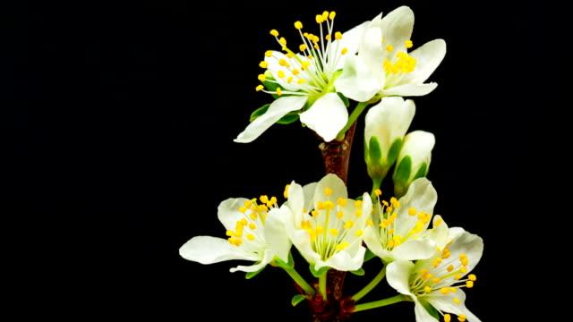 Plum flower blooming against black background video