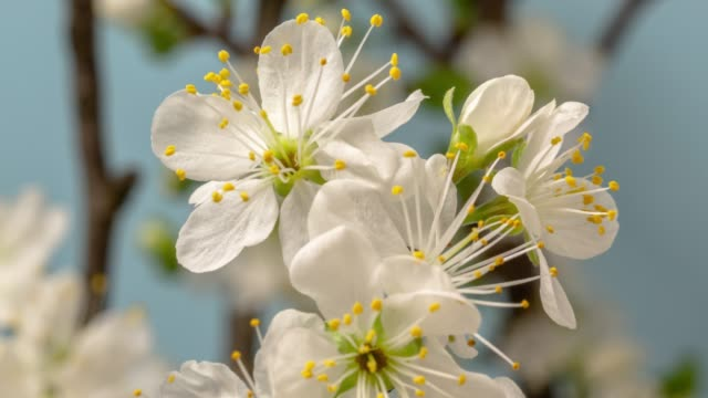 Plum Flower blooming against blue background in a time lapse movie. Prunus growing in time-lapse. - Stock video