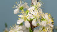 istock Plum Flower blooming against blue background in a time lapse movie. Prunus growing in time-lapse. - Stock video, Slider vertical movement and rotating. 1142846357