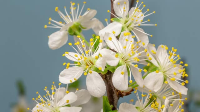 Plum Flower blooming against blue background in a time lapse movie. Prunus growing in time-lapse. - Stock video, Slider vertical movement and rotating.