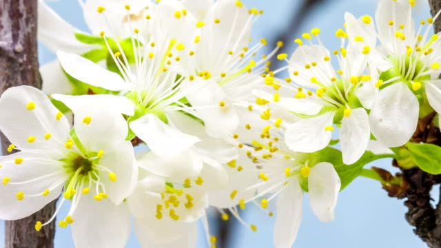 Plum flower blooming against blue background in a time lapse video
