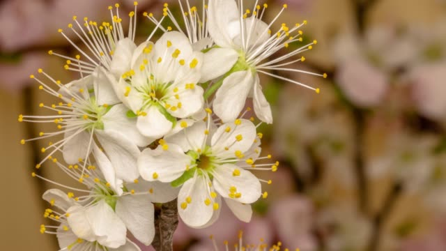 Plum Flower blooming against yellow background in a time lapse movie. Prunus growing in time-lapse. - Stock video. Slider vertical movement and rotating.