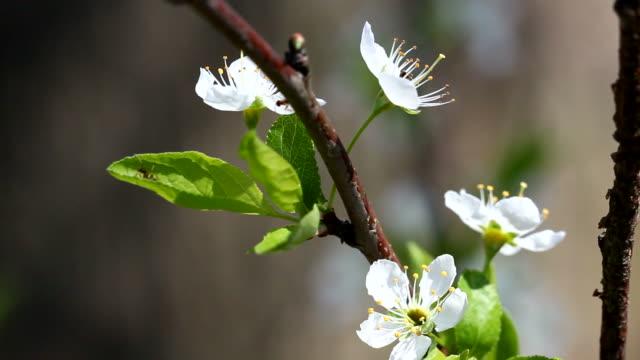 plum flowers - pistillo video stock e b–roll