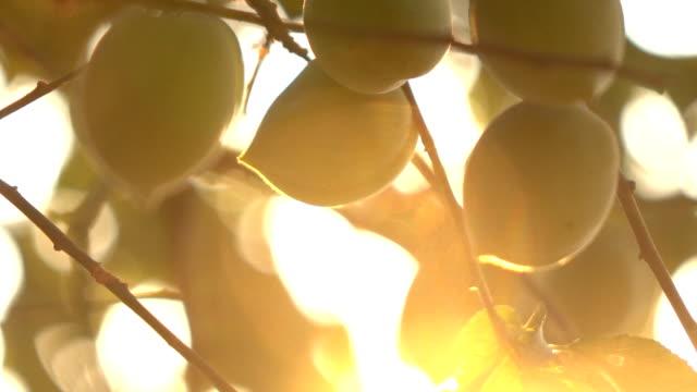 Plum on tree slow motion in sunlight Plum on tree slow motion in sunlight plum stock videos & royalty-free footage