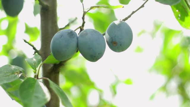 plum picking - gren plantdel bildbanksvideor och videomaterial från bakom kulisserna