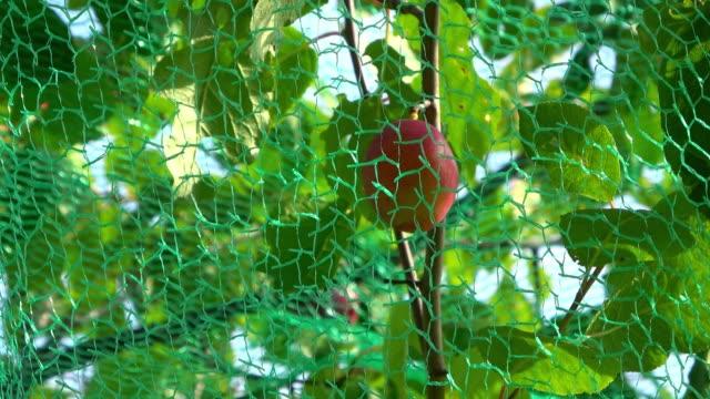pflaumenbaum - netzgewebe stock-videos und b-roll-filmmaterial