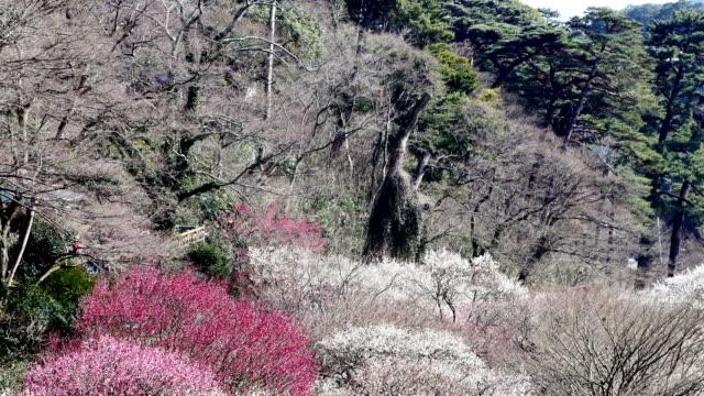 Plum trees in full bloom. video