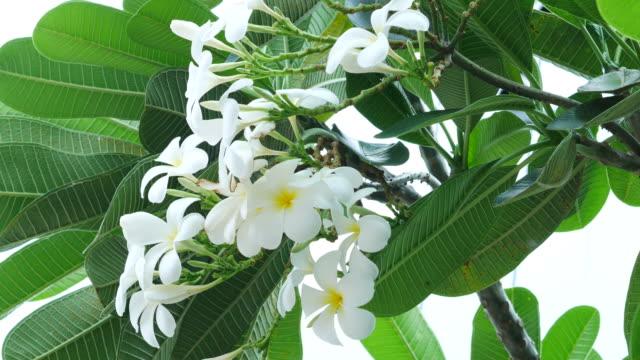 Plumeria flower on tree video