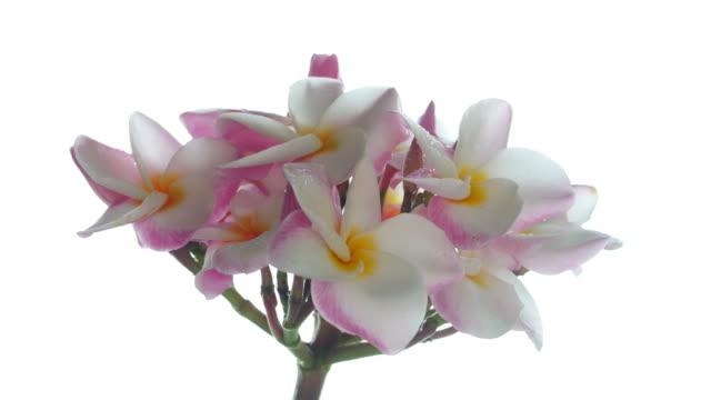Plumeria flower on tree , white background video