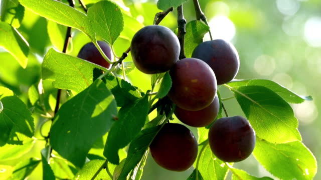 Plums on a branch video