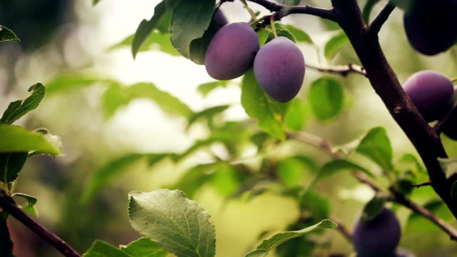 Plums On A Tree Branch Plums On A Tree Branch plum stock videos & royalty-free footage