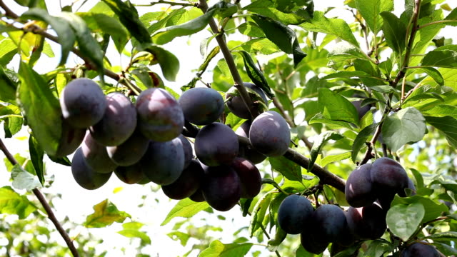 Plums on a tree video