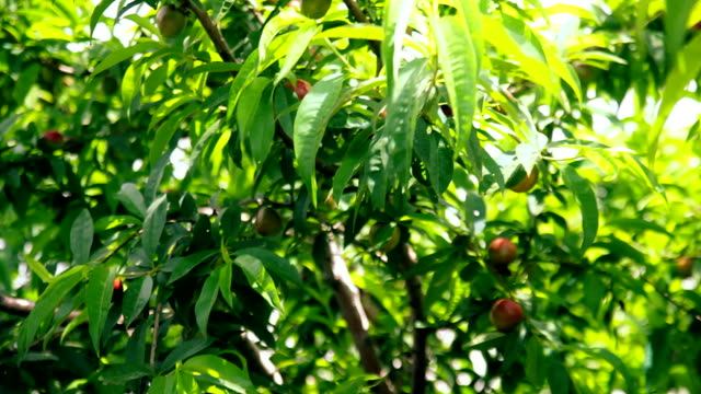 Plums tree with fruits on branches video