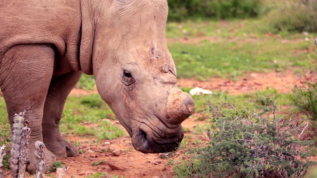 Poached Wild African White Rhino video