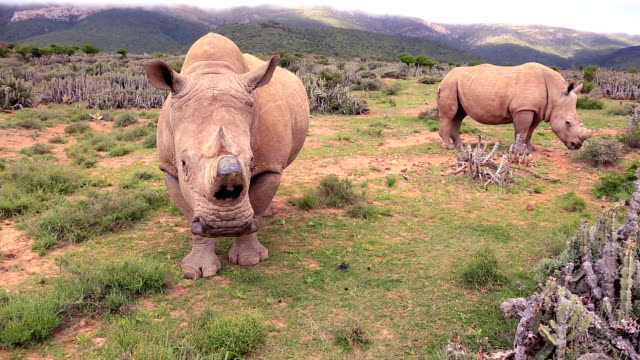 Poached Wild African White Rhinos video