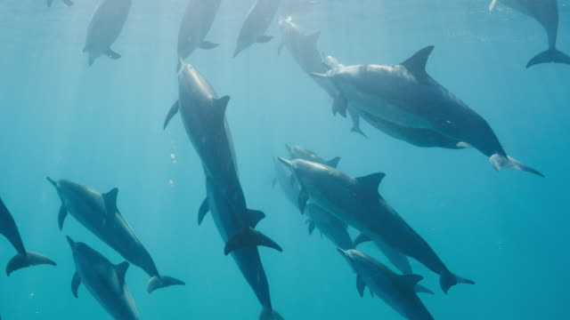 A pod of dolphins swimming together in blue ocean A pod of dolphins swimming and surfacing in pristine blue ocean water, amazing underwater wildlife dolphin stock videos & royalty-free footage