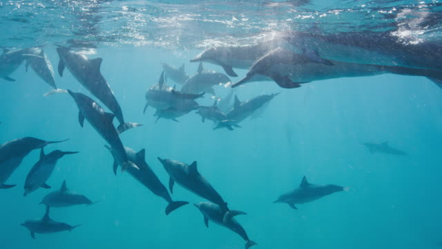 A pod of dolphins swimming together in blue ocean