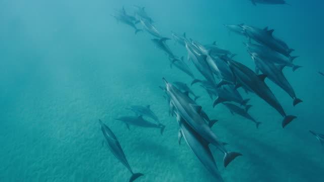 vídeos de stock e filmes b-roll de a pod of dolphins swimming together in blue ocean - proteção