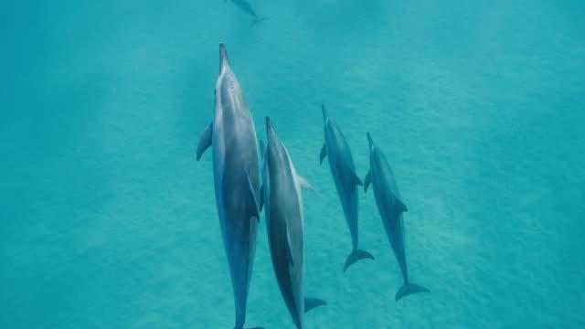 eine schale von delfinen, die zusammen im blauen ozean schwimmen - bedrohte tierart stock-videos und b-roll-filmmaterial