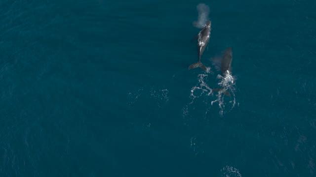 vidéos et rushes de pod de baleines à bosse en croisière ensemble dans l'océan - baleine