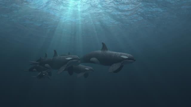 vidéos et rushes de pod d'épaulards orques nage passé la caméra - baleine