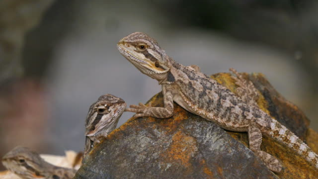 Pogona Reptile Couple Pogona is a genus of reptiles containing eight lizard species, which are often known by the common name bearded dragons. The name