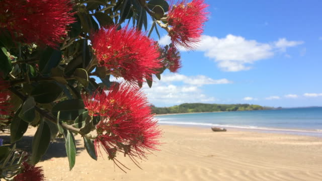 Pohutukawa red flowers blossom on the month of December video