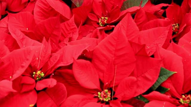 poinsettia Christmas flower video