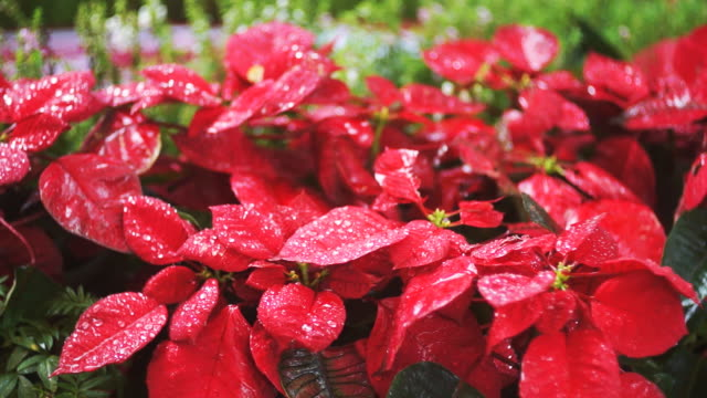 stockvideo's en b-roll-footage met poinsettia plant and rain - kerstster
