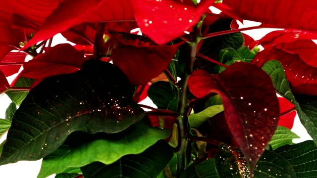 Poinsettia video
