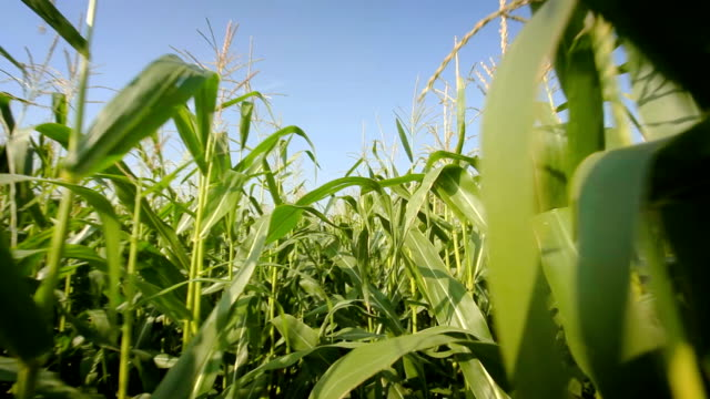 Point of view in cornfield video