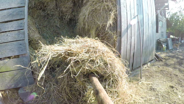 POV point of view of farmer taking hay dry grass with pitchfork in a barn